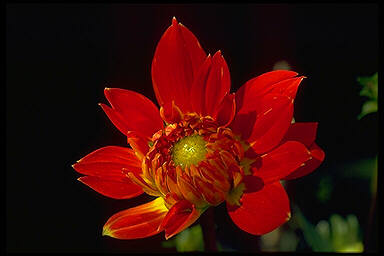 Rote Blume – Red Flower